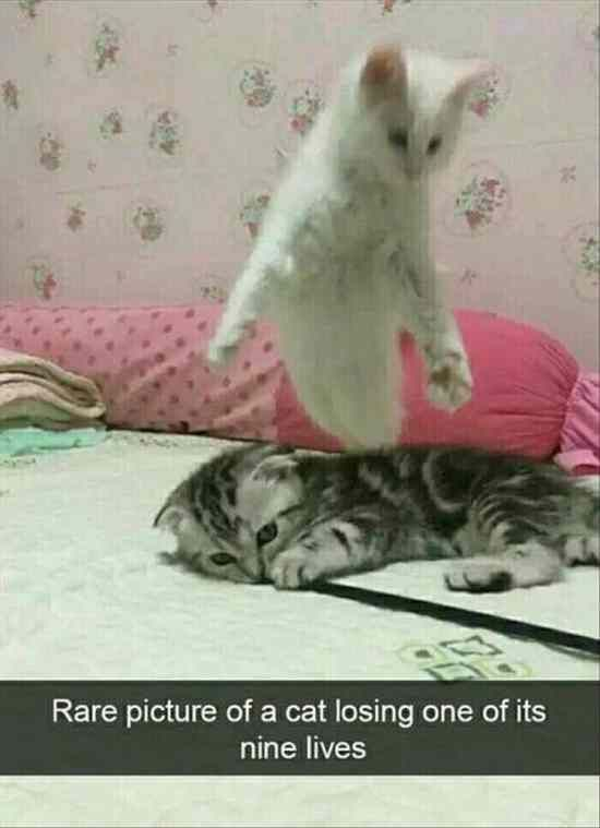 Cat, Kitten, Felidae, Leash, Spirit Meme: Rare picture of a cat losing one of its nine lives