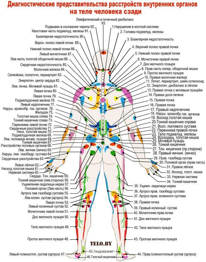 Как расположены внутренние органы человека, фото?