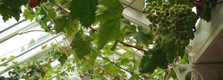grapes in an Alitex Greenhouse; Weintrauben