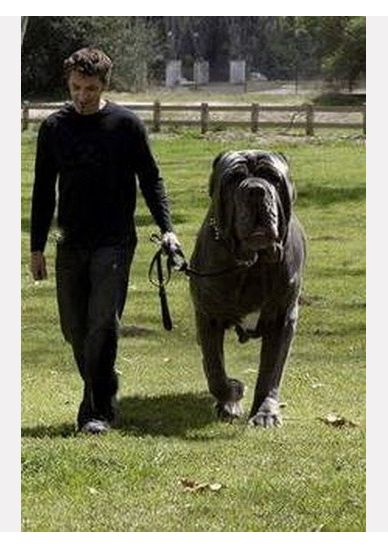 Hercules, English Mastiff weighs 282 lbs! | Animals and ...