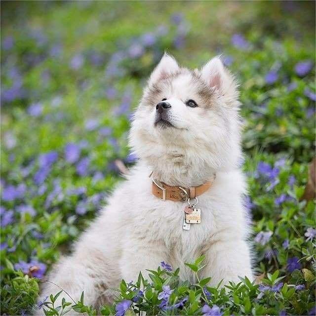 Pin Von Barbara Rathmanner Auf Akita Dogs Susse Hunde Flauschige Hunde Babyhunde