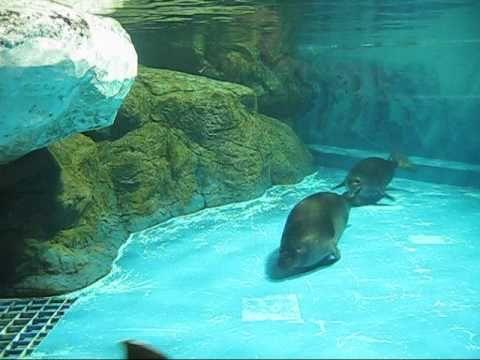 バイカルアザラシ すーいすいすい Baikal Seal in Niigata Aquarium