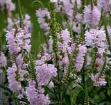 the obedient plant - I am keeping a close eye on mine this season. There are new shoots everywhere!