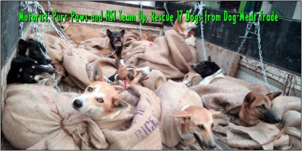 Motorist, Purr Paws and HSI Team Up, Rescue 17 Dogs from Dog-Meat Trade - Wildlife Planet