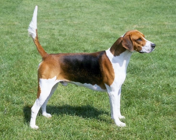 ✅English fox hound Temperament: tolerant, gentle, friendly, companionable, active, sociable Height:21-24 inches