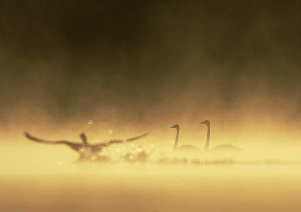 Pair of swans in golden misty lake - prints for sale