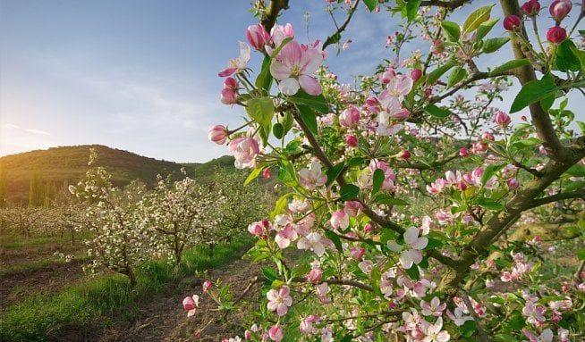 Využijte květy ovocných stromů, jsou léčivé - Vitalia.cz