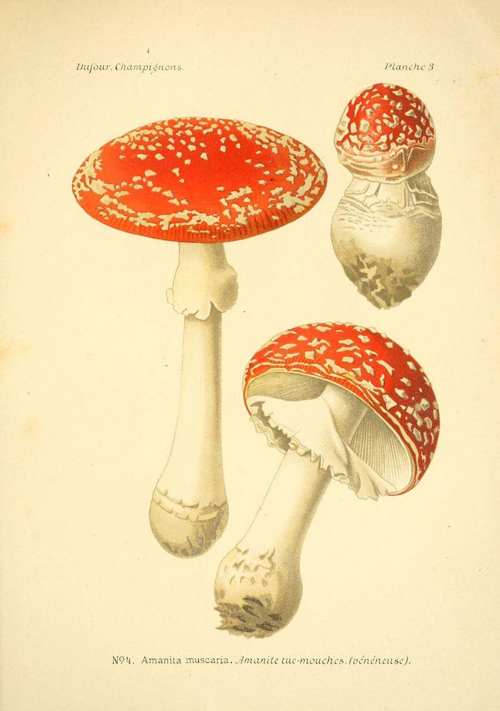 French Mushroom Scientific Illustration - Series 2 Plate 4.