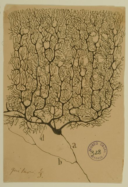 """Santiago Ramón y Cajal Purkinje Cell of the Human Cerebellum, 1899 """"Architecture of Life"""" at UC Berkeley Art Museum and Pacific Film Archive, Berkeley Artsy - Discover Fine Art"""