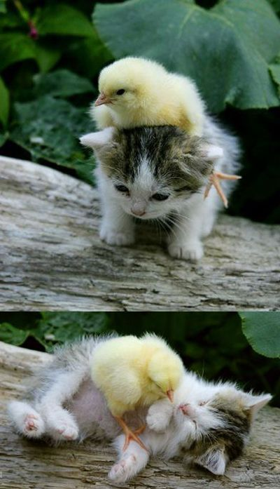 little chick and small kitten