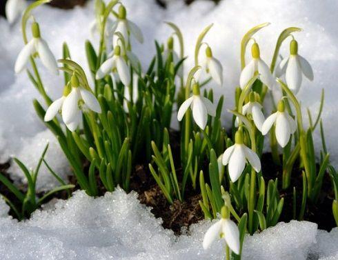 podsnezhnik-v-snegu.jpg (490×377)