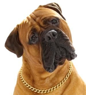 """I'm a swinger in a big way!"" #dogs #pets #BullMastiffs Facebook.com/sodoggonefunny"