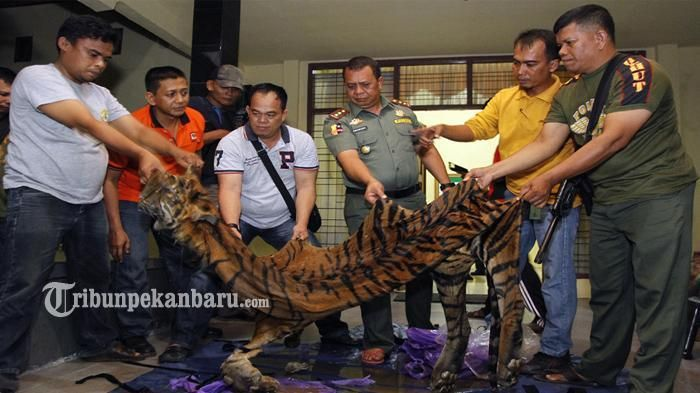 Suaka Margasatwa Barumun - Harimau Sumatera Tinggal 400 Ekor, Ini Upaya Penyelamatannya
