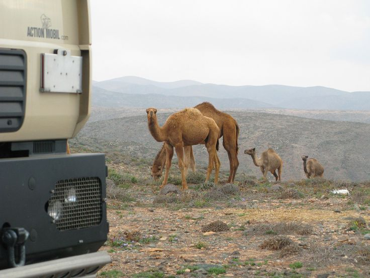 Unsere Nachbarn in den einsamen Bergen hinter Sidi Ifni | Marokko #marokko #morocco #worldtrip #weltreise #dromedar #dromedary #sidiifni #offroad #offroadadventure