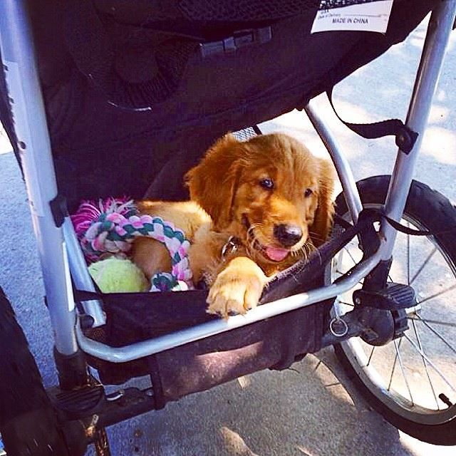 The best part of being a pet parent is seeing the love in their eyes when you come home and getting to watch them grow up as they do all the silly puppy and doggy things that they do. (our Golden isn't the most graceful pup but it makes for some funny moments in our lives!) - S.B. #NationalDogWeek