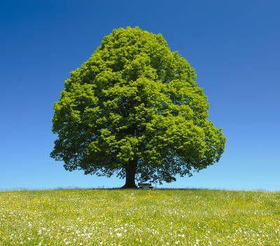 Tilleul : un arbre de culture facile et plein de bienfaits