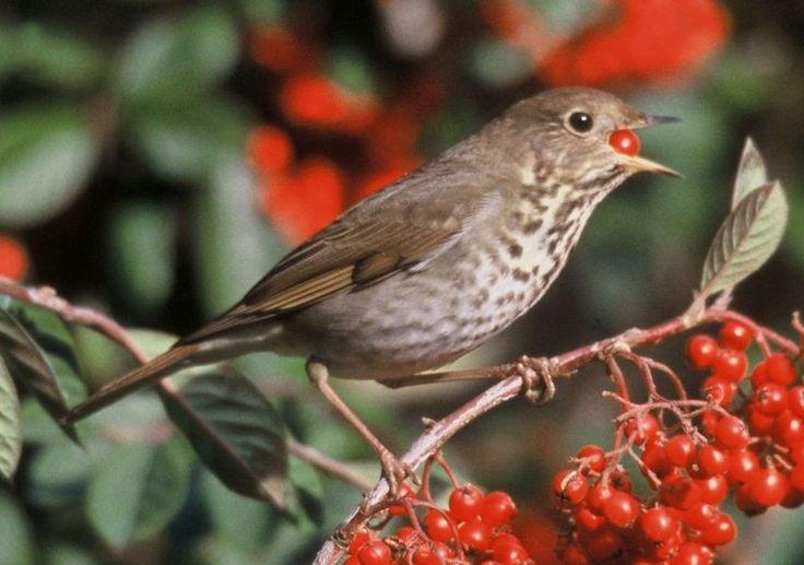 Drosseln Vogel Die Drosseln sind eine artenreiche Vogelfamilie in der Ordnung der Sperlingsvögel, Unterordnung Singvögel. Die Abgrenzung der Familie gegen die Fliegenschnäpper wird kontrovers diskutiert.