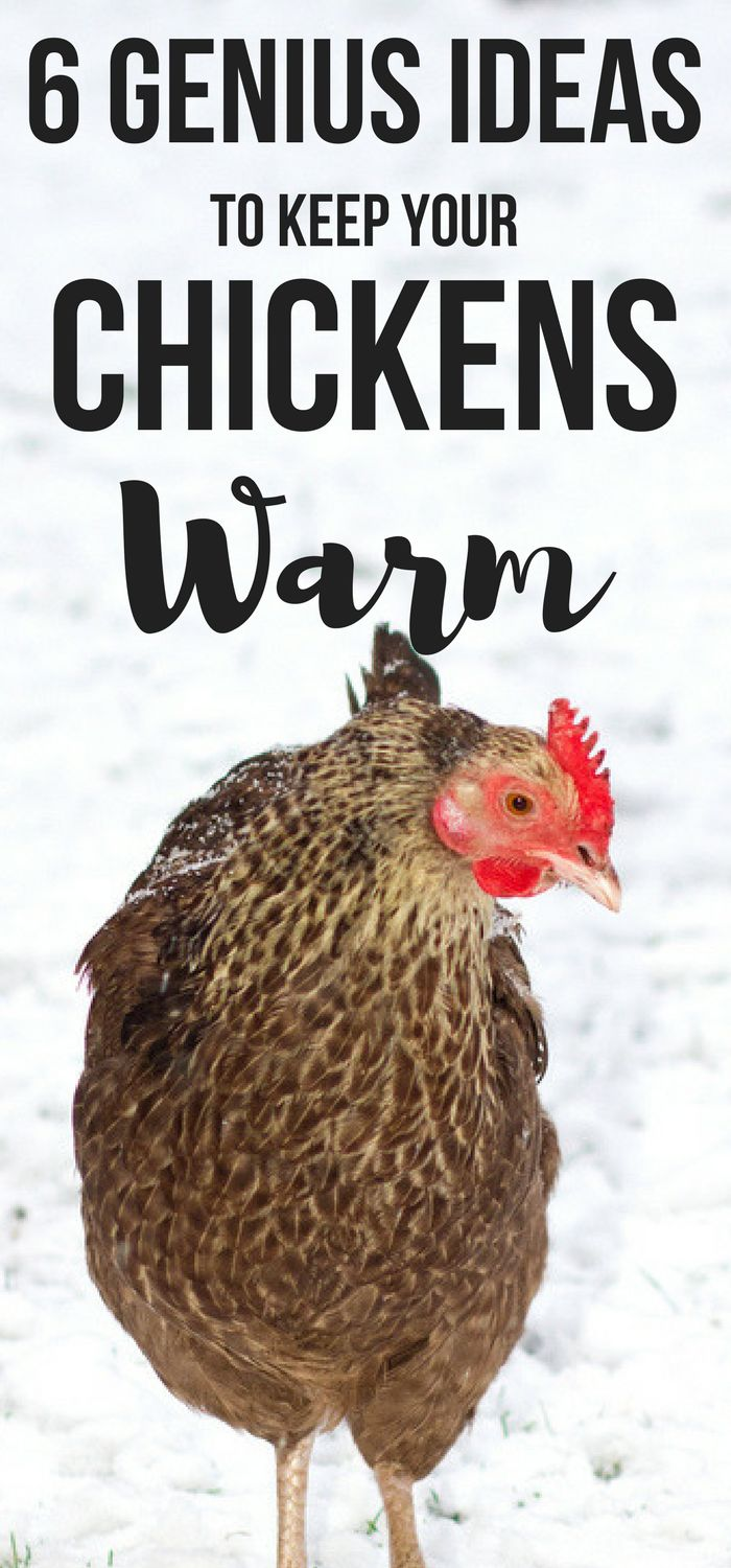 Want genius ideas to keep a chicken coop warm in winter? Here's 6 genius hacks perfect for beginner backyard chicken mamas! #backyardchickens #chickens #homesteading