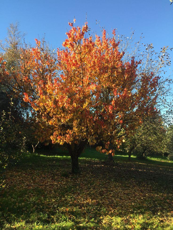 Albicocco d'autunno
