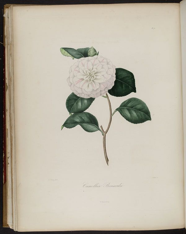 Image of Illustration of Camellia Bonnardii