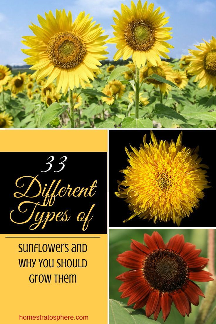 33 Different Types Of Sunflowers And Why You Should Grow Them Types Of Sunflowers Growing Sunflowers Sunflower Garden