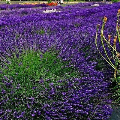 Lavender Hidcote Flower Seeds (Lavandula Angustifolia) 50+Seeds
