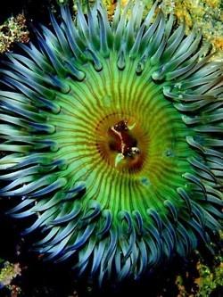 Sea anemone by Oriana Poindexter.