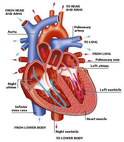 502 best Cardiovascular system images on Pinterest
