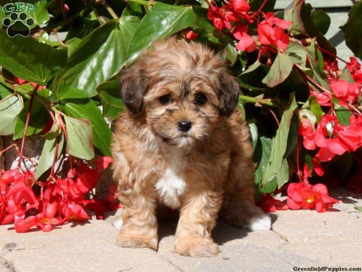 Tiny Pet Dogs