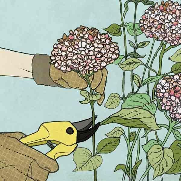 all about hydrangeas when to prune - When To Trim Hydrangea