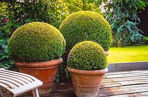 4letá okrasná rostlina Buxus 30–40 cm