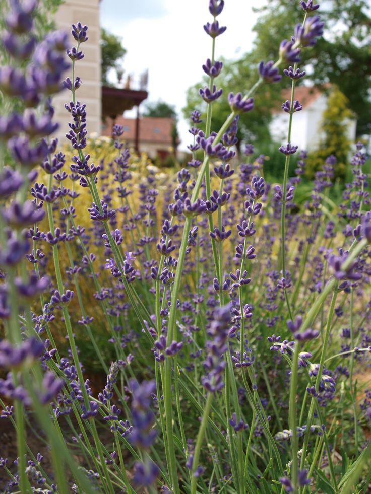 #bylinkove panstvi #zamek #zahrada #radost #bylinky #netradicniakce #bylinky #park #levandule