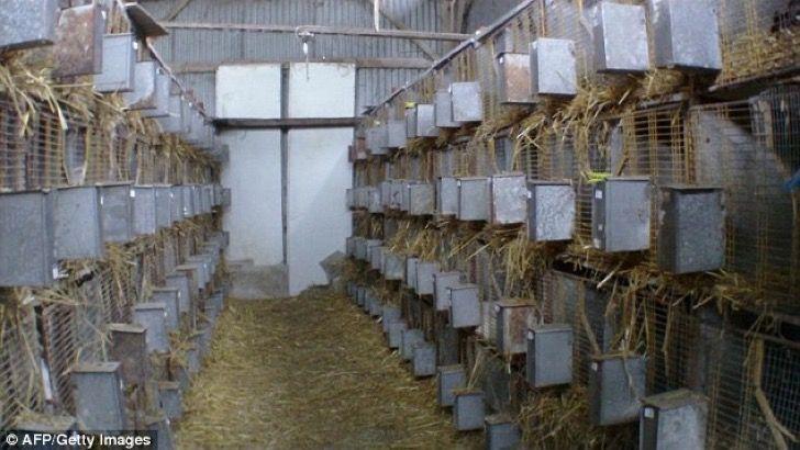 Este video puso en evidencia el brutal calvario que sufren los conejos angora en Francia