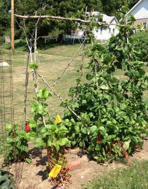 32 best images about green bean poles on pinterest for Great vegetable gardens