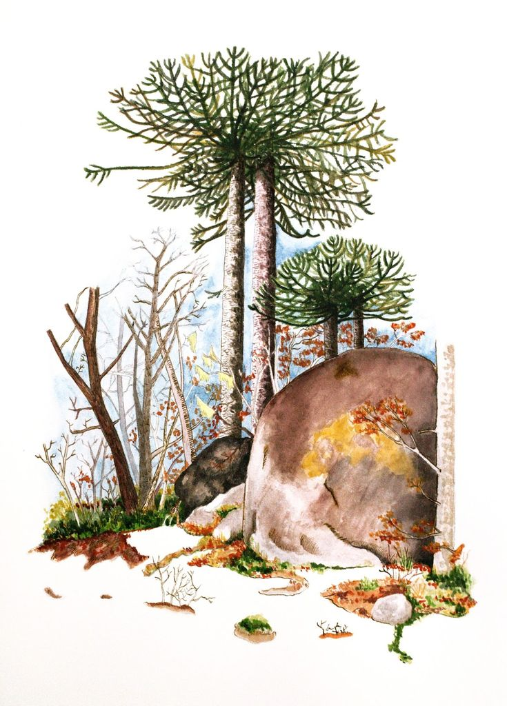 Mi Naturalismo: La Araucaria araucana: una reina en peligro.