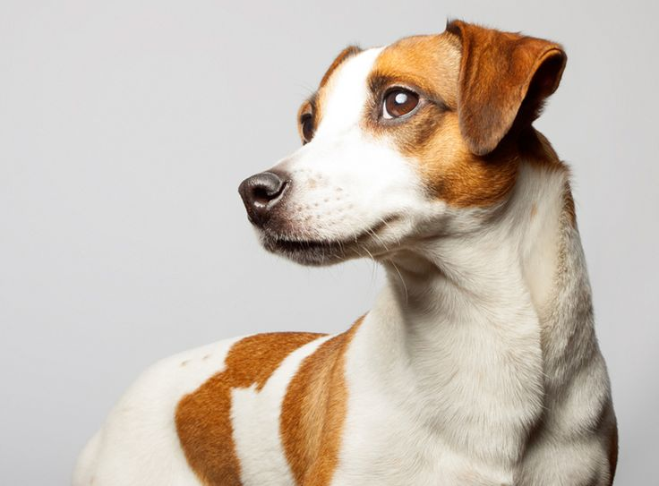 Facts You Must Know Before Fixing Jack Russell Terriers