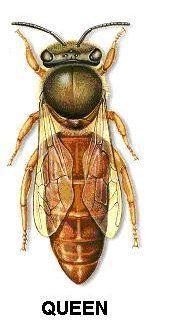 Queen Bee (Dunway Enterprises) Copy & Paste the following URL: www.dunway.info/bee_keeping/index.html