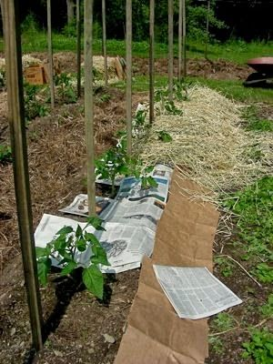 Stakes for tomato trellis, in place at planting