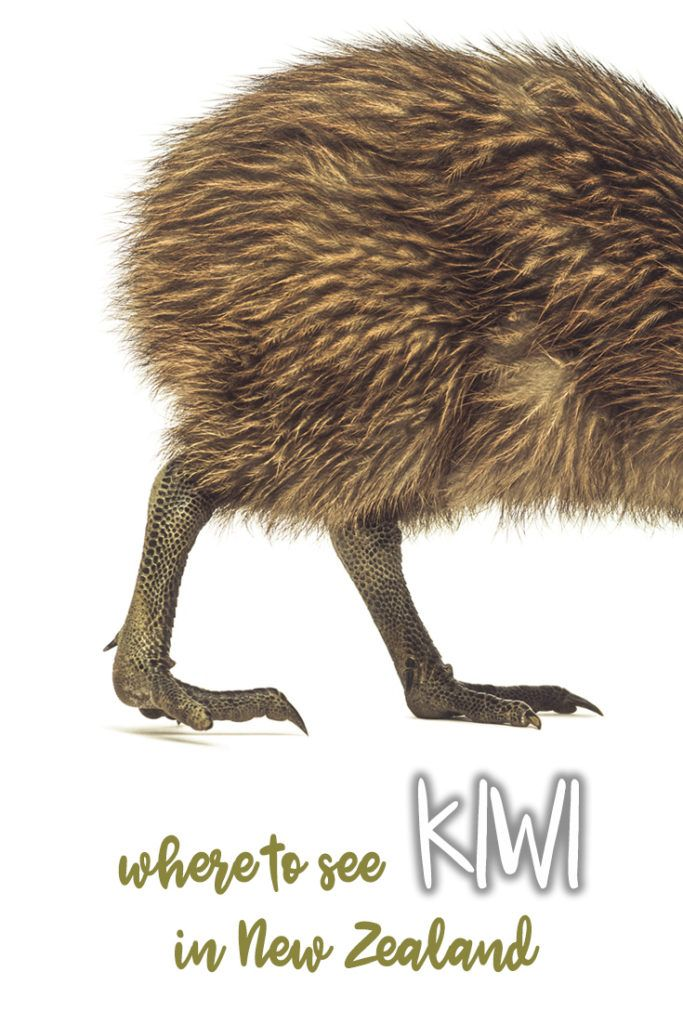 Are you wondering where to meet kiwi in New Zealand? Check our guide to the best place where you can see kiwi!