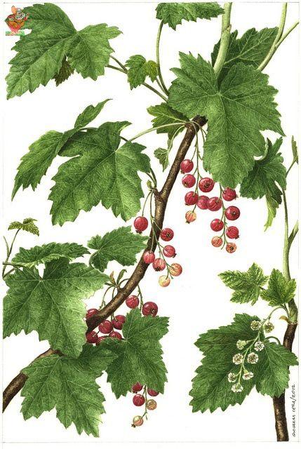 (192)  - Немного ботаники - Красная смородина