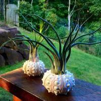 Sputnik Sea Urchin Planters with Caput-Medusae #airplants #tillandsia #planters #airplantdesigns #urchins #ethicallysourced
