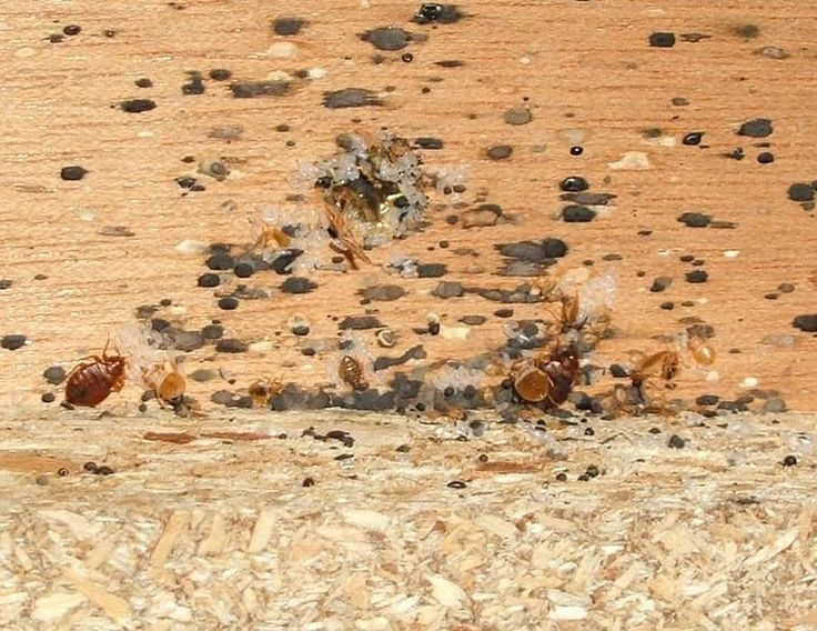 9 Symptoms and Signs of Bed Bugs Signs of bed bugs, Bed