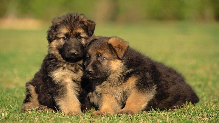 German Shepherd Dog Price, Temperament, Life span