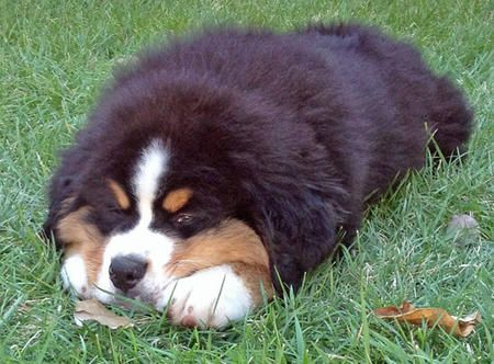 Bruno the Bernese Mountain Dog