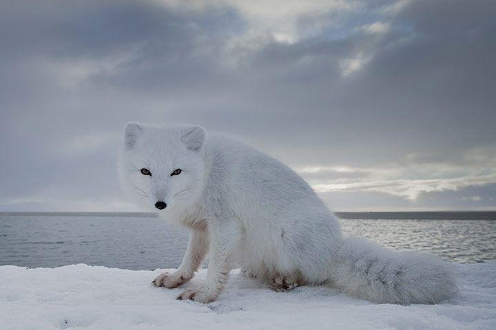 Tundra Arctic Fox In Summer 146 best Arctic...