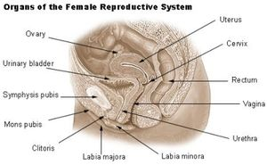 The reproductive system consists of organs, ducts, and glands that produce or support the development of male and female gametes.