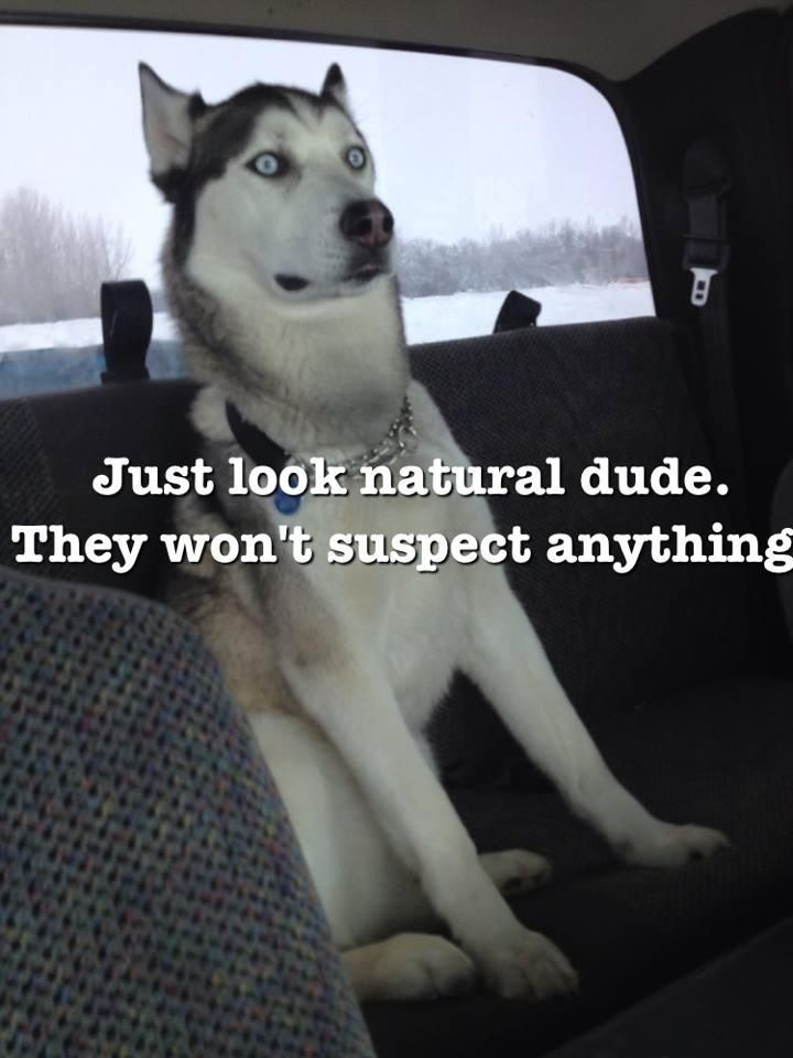 Casual husky.