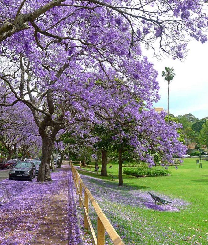 Jacaranda Trees at Milsons Pt, Sydney, Australia