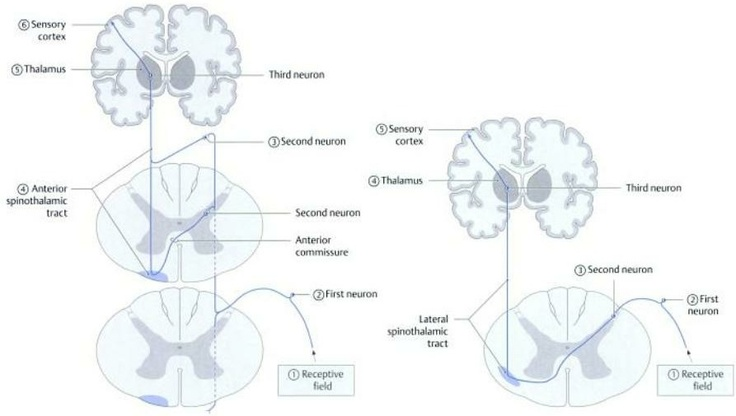 anterior & lateral spinothalamic tracts