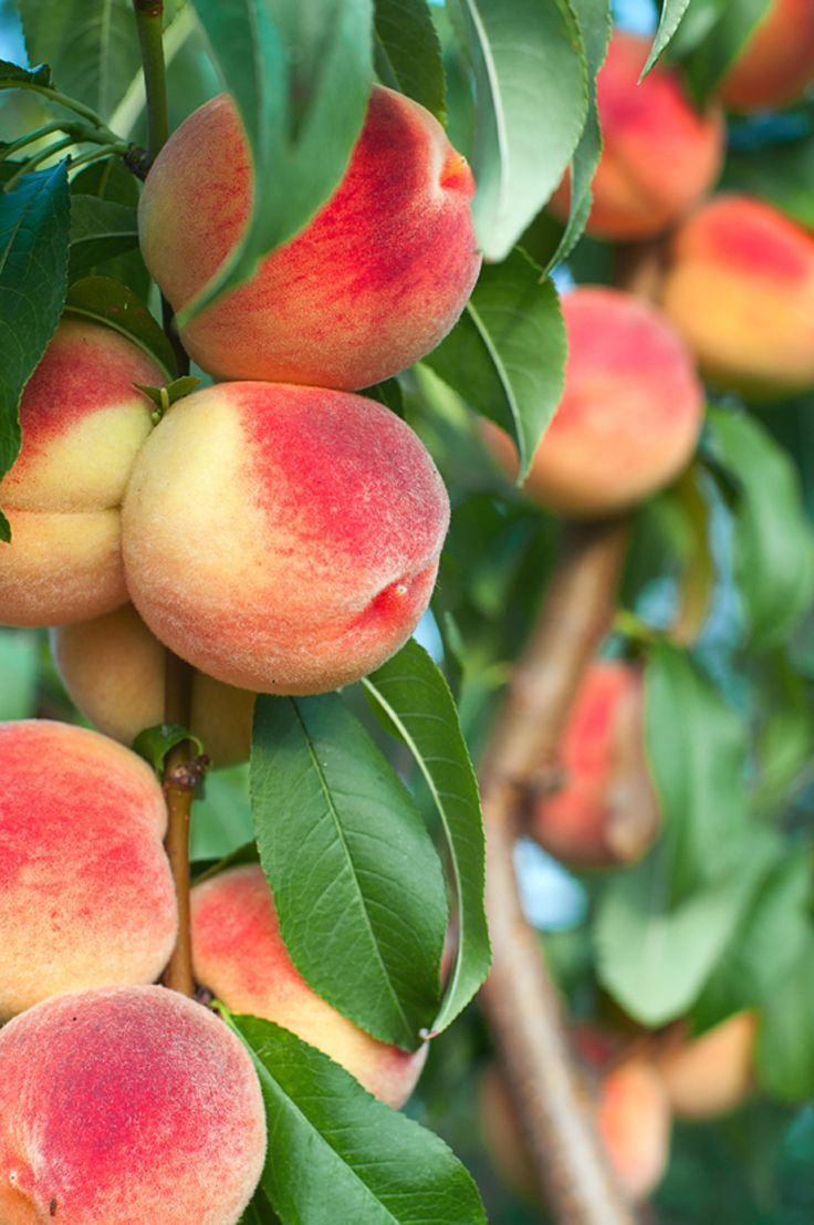 #Bunnings have a great selection of #Peach seeds and trees for you to choose from as you start to commence your #Autumn gardening projects!